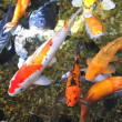 Koi Fish — Stock Photo #12574510