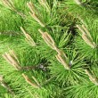 Spring Pines — Stock Photo