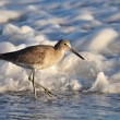 Willet Sea Bird - Stock Photo