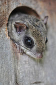 Eastern Flying Squirrel — Stock Photo