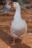White Goose — Stock Photo