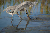 Heron Catching American Eel — Stock Photo