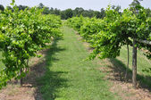 Grape Vineyard Winery — Stock Photo