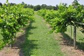 葡萄葡萄园酒庄 — 图库照片