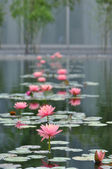 Water Lily Garden — Stock Photo
