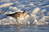 Willet Sea Bird — Stock Photo