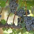 Stock Photo: Bees on Wine Grapes