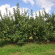 Stock Photo: Organic Apple Orchard
