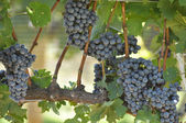 Bees on Wine Grapes — Stock Photo