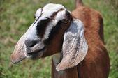 Příjemná farma koza — Stock fotografie