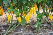 ферма горячего перца — Стоковое фото