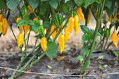 Hot Pepper Farm — Stockfoto