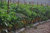 Hot Pepper Farm — Stock Photo
