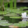 Lily Pads — Stock Photo #26203491