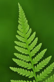 Ferns — Stock Photo