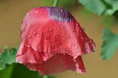 Poppy flowers after rain — Stock Photo
