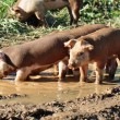 Farm Pigs — Stock Photo