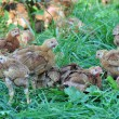 Free Range Chickens — Stock Photo #32086771