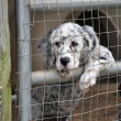 English Setter Dogs — Stock Photo