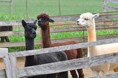 Domesticated Alpacas — Stock Photo