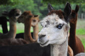 Domesticerade alpackor — Stockfoto