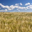 Stock Photo: Grain field and blue sky