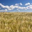 Grain field and blue sky — Stock Photo