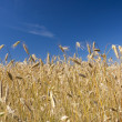 Grain field and blue sky — Stock Photo