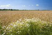 Camomiles and grain field — Stock Photo