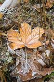 Frosty ahornblatt — Stockfoto