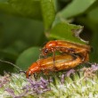 Постер, плакат: Two red bugs mating