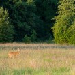 Roedeer on hay field — Stock Photo #20992729