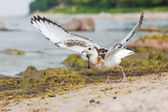 Sea gull or mew — Stock Photo