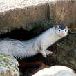 White weasel — Stock Photo