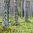 Stock Photo: Pine tree forest panorama