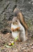 Portret wiewiórka — Zdjęcie stockowe
