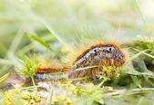 Larva laranja peludo na grama — Fotografia Stock