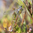 Stock Photo: Dragonfly or damselfly on a plant