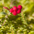 Stock Photo: Cowberry closeup