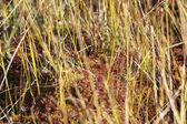 Dolda gräshoppa — Stockfoto