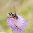 Little wasp on violet flower — Stock Photo