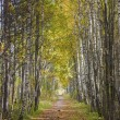 Stock Photo: Alley in forest