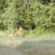 Roebuck in forest — Stock Photo #28068929