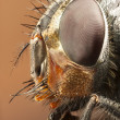Stock Photo: Portrait of drone-fly