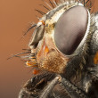 Portrait of a drone-fly — Stock Photo