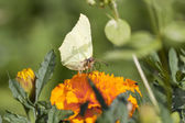 Greenish butterfly on orange flower — Stock Photo