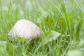Inedible mushroom in grass — Stock Photo