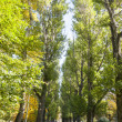 Stock Photo: Avenue with tall green trees