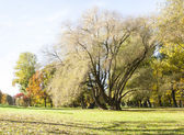 Tall and half bare tree grow on grass field in autumn — Stock Photo