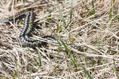 Common adder or viper on the ground — Stock Photo